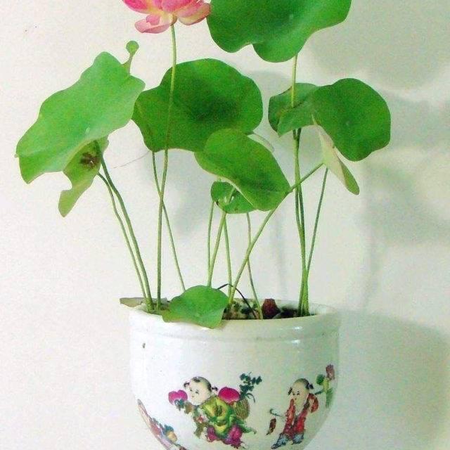Bowl Lotus Seeds 5 pcs Set